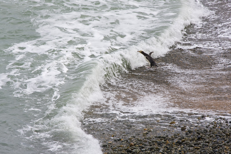 Yellow-Eyed Penguin Diving Into Surf