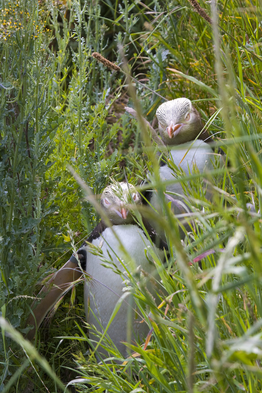 Yellow-Eyed Penguins In Grass
