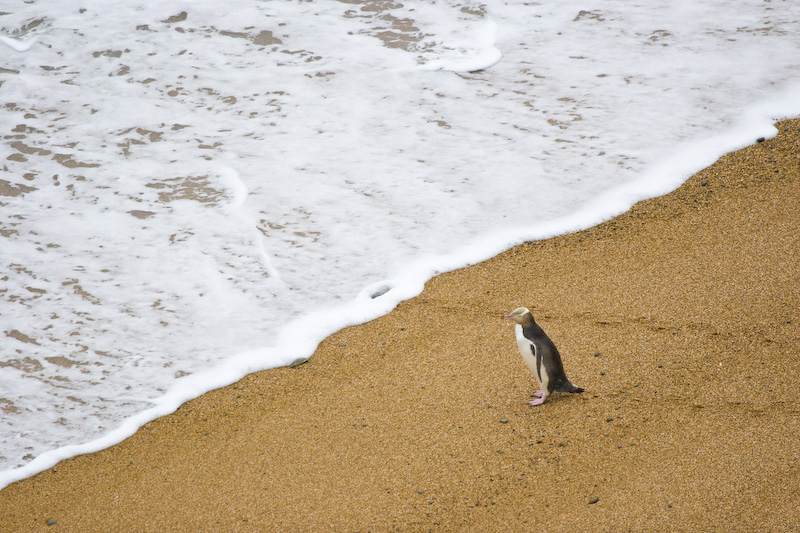 Yellow-Eyed Penguin On Beach