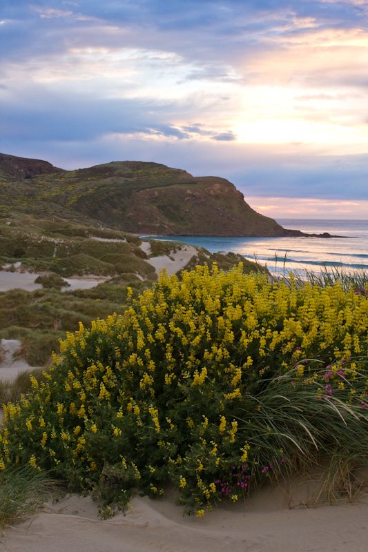 Lupines And Sandfly Bay At Sunrise