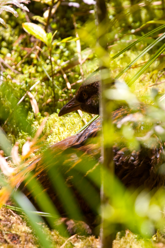 Weka On Forest Floor