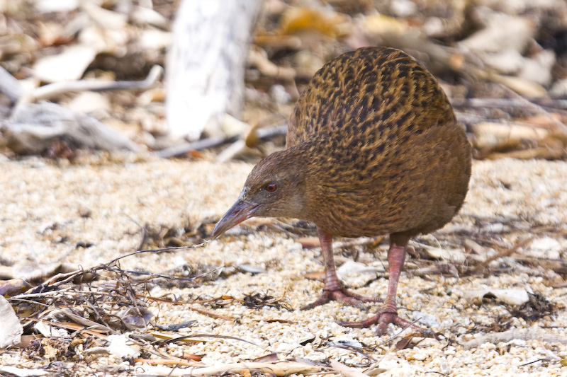 Weka On Beach