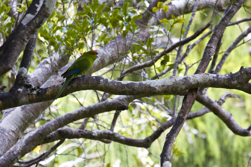 Red-Fronted Parakeet On Branch