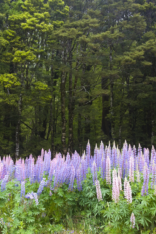 Lupines At Forest Edge