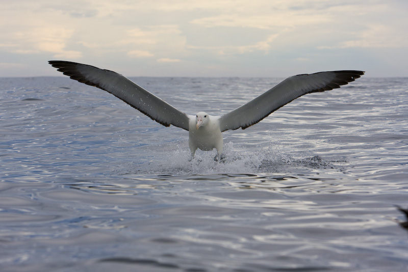 Wandering Albatross Coming In To Land On Water
