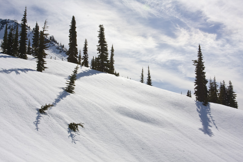 Sub-Alpine Firs On Snow Slope