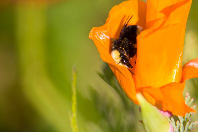 Bumble Bee In California Poppy