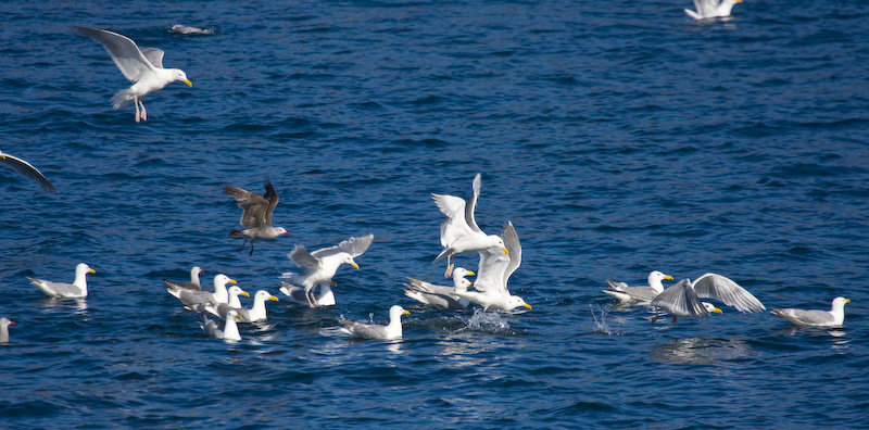 Glaucous-Winged And Heermans Gulls