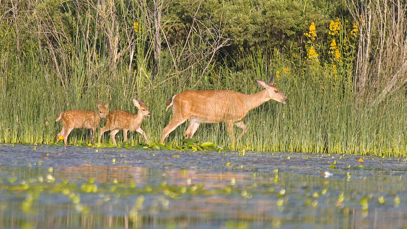 Mule Deer And Fawns Along Shore Of Lake Sammamish