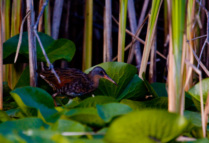 Virginia Rail On Lillies