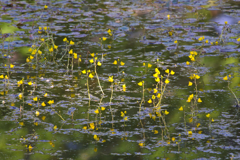 Sunlight On Flowers Growing Out Of Pond