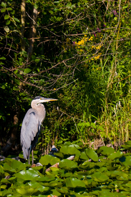 Great Blue Heron In Lillies