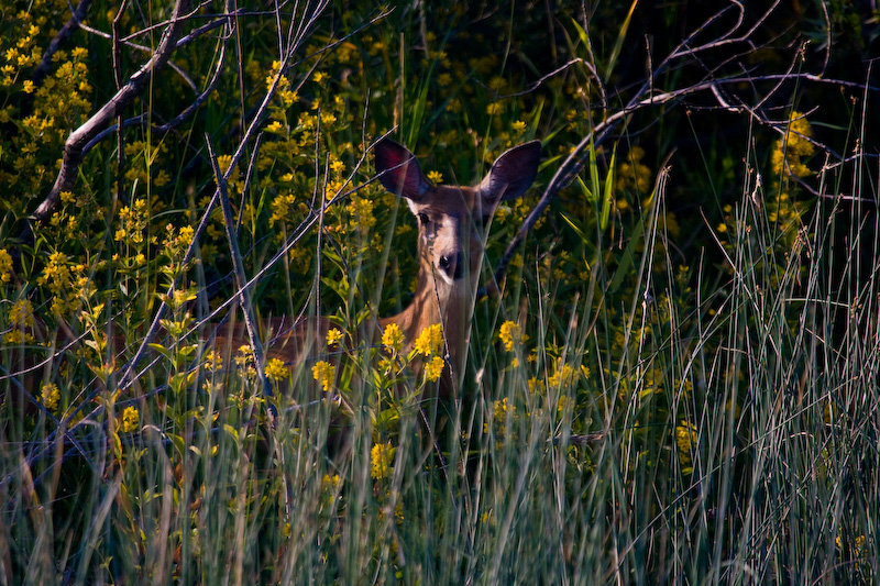 Mule Deer In Flowers
