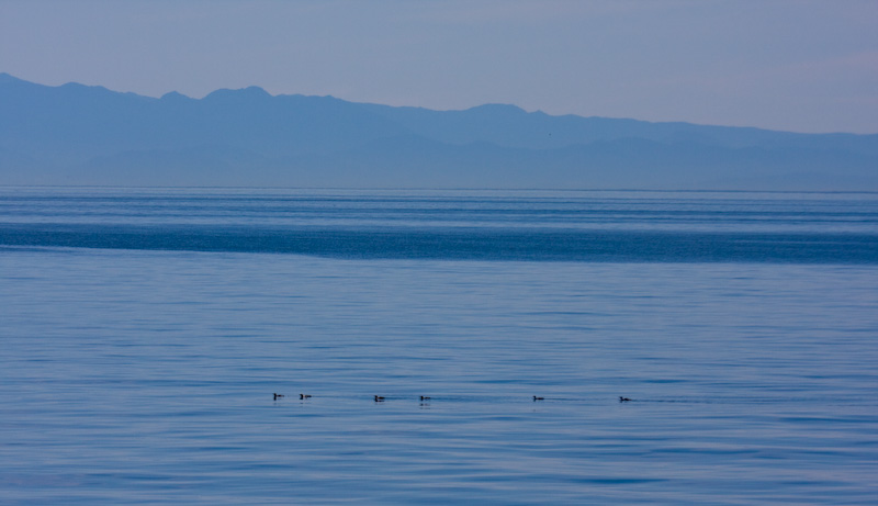 Common Murres And Olympic Mountains