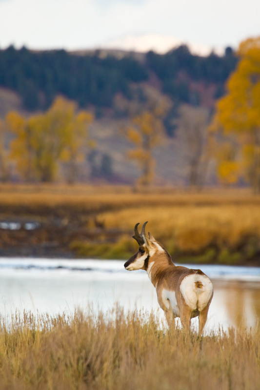 Pronghorn At Edge Of The Lamar River