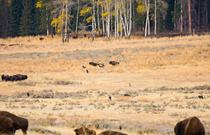 Wolf Pack Chasing Bison
