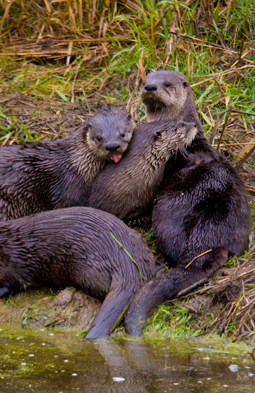 River Otters Grooming