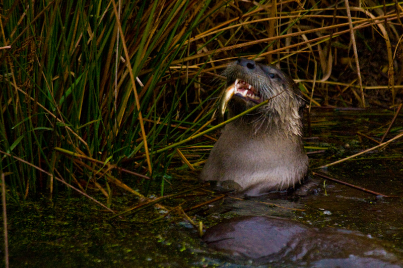 River Otter Eating Fish