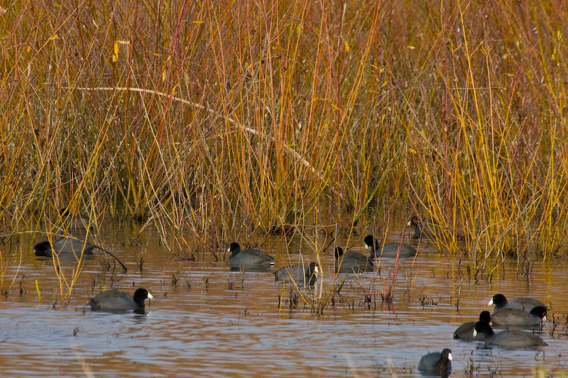 American Coots In Reeds