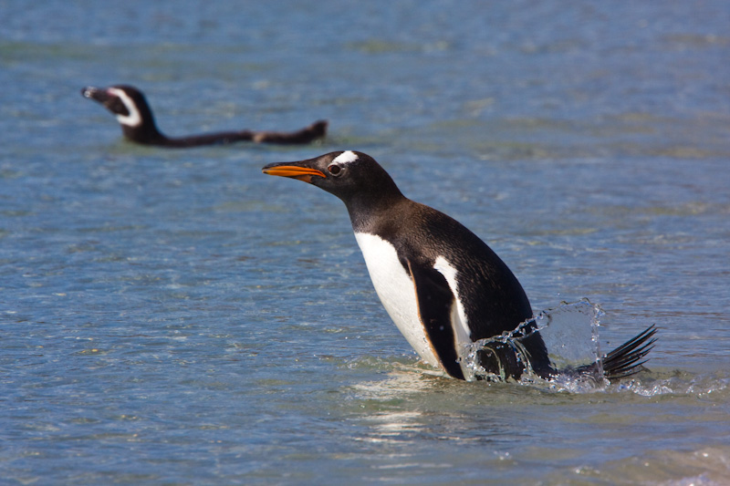 Gentoo Penguin Entering Water