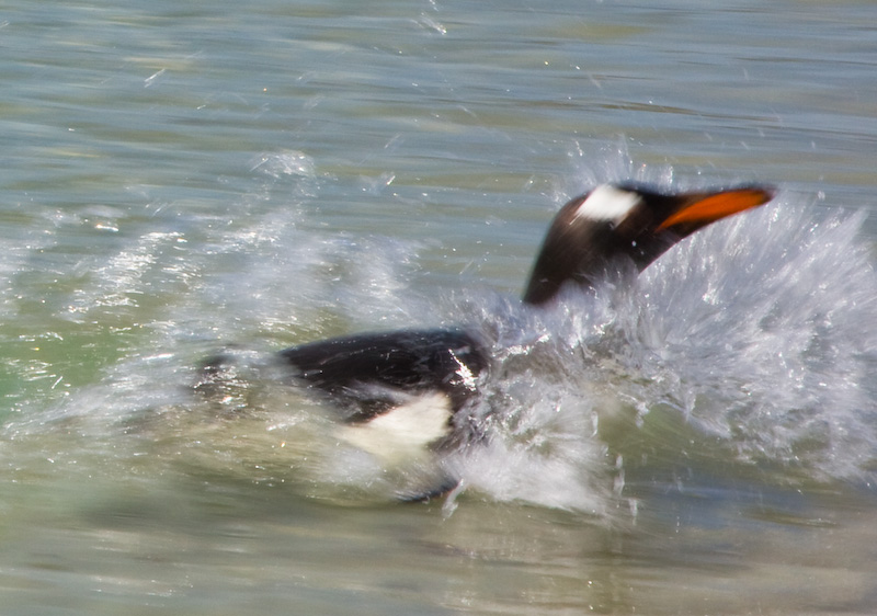 Gentoo Penguin Arriving On Beach
