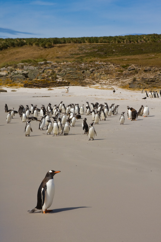 Magellanic Penguins And Gentoo Penguins On Beach
