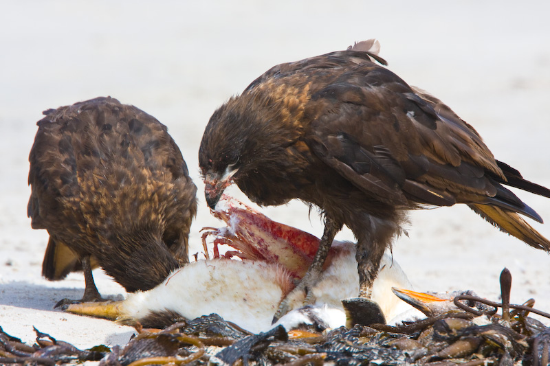 Striated Caracaras Eating Gentoo Penguin