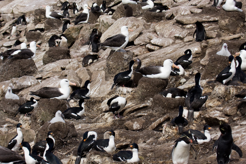 Nesting Black-Browed Albatross, Imperial Cormorants And Rockhopper Penguins