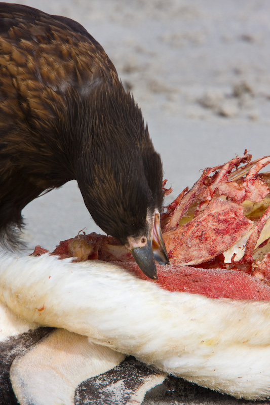 Striated Caracara Eating Gentoo Penguin