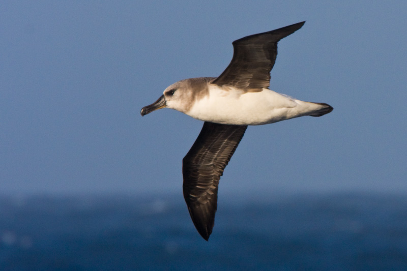 Gray-Headed Albatross In Flight