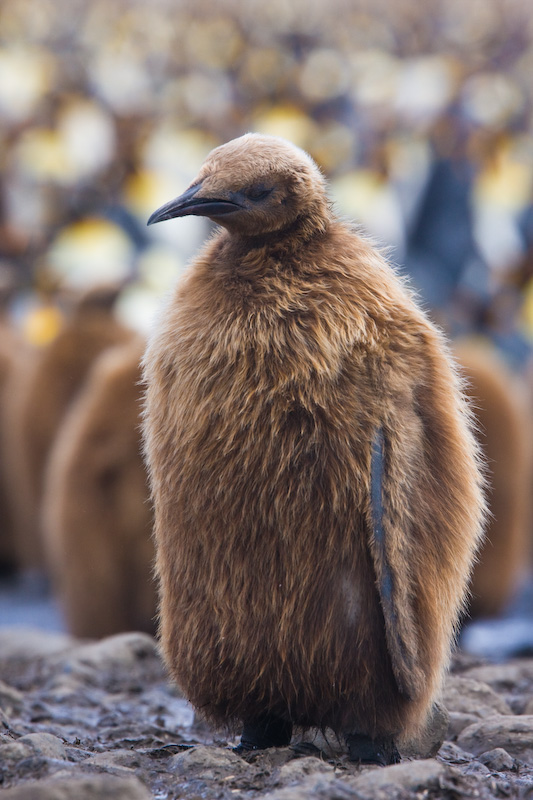 Juvenile King Penguin