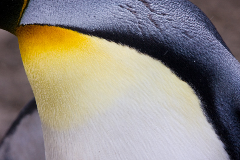 King Penguin Feather Detail
