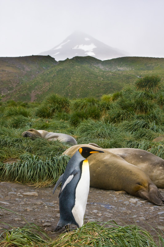 King Penguin And Southern Elephant Seals