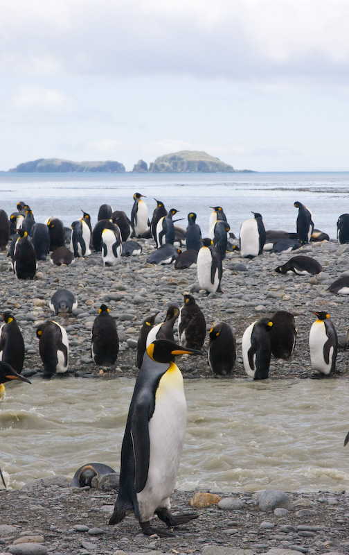 King Penguins On Stream Bank