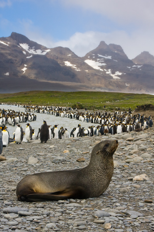 Antarctic Fur Seal And King Penguins Along Stream Bank