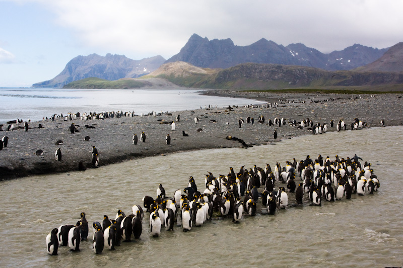 King Penguins In Stream