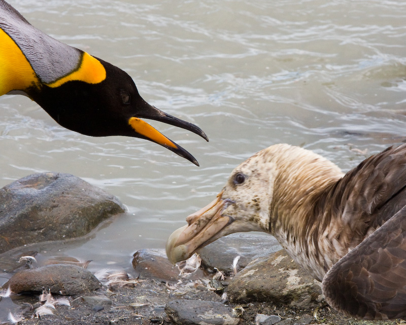 King Penguin Confronting Southern Giant Petrel