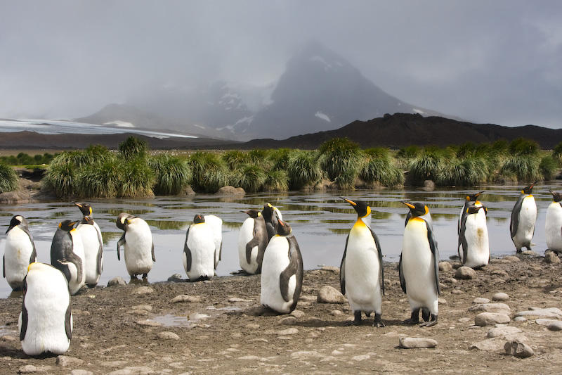 King Penguins On The Salisbury Plain