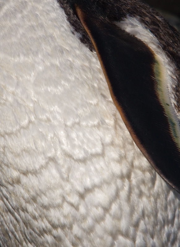 Gentoo Penguin Feather Detail