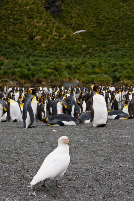 Pale-Faced Sheathbill And King Penguins On Beach