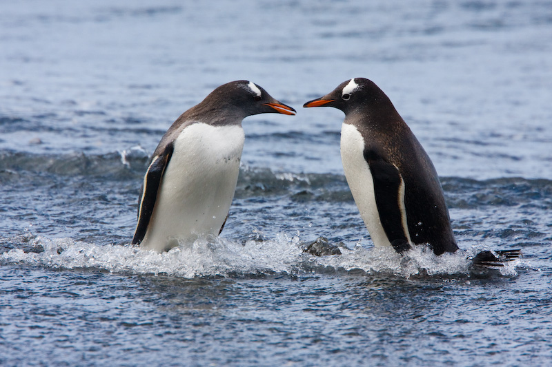 Gentoo Penguins In Surf