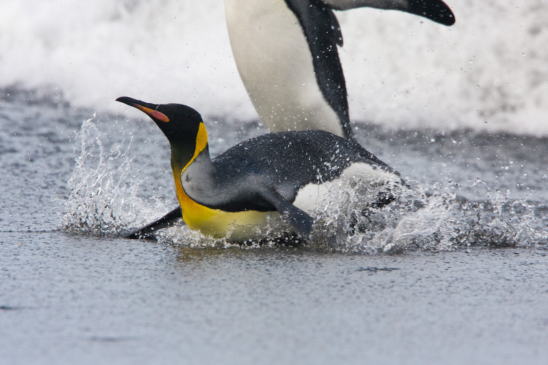 King Penguin Arriving On Beach