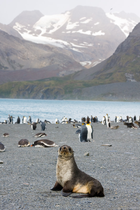 Antarctic Fur Seal And King Penguins On Beach