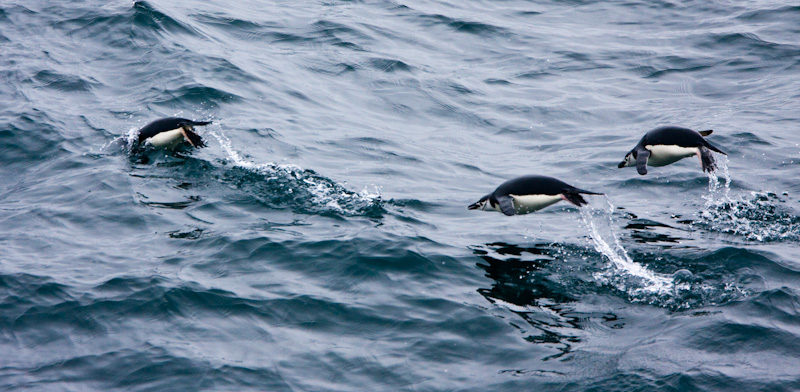 Chinstrap Penguins Porpoising