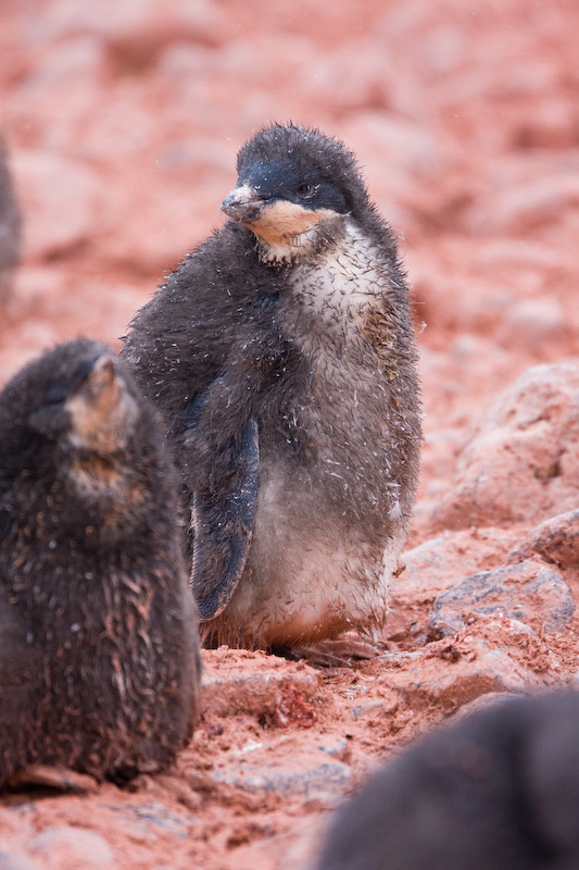 Adélie Penguin Chick