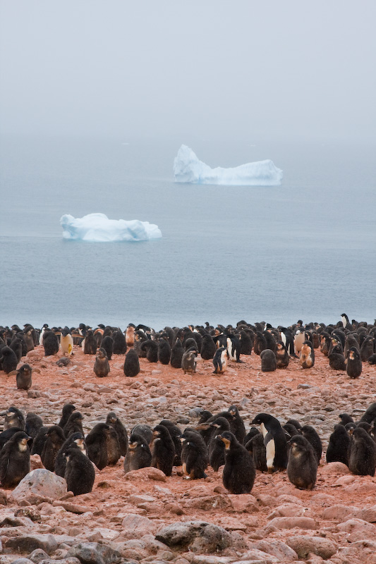 Adélie Penguin Colony
