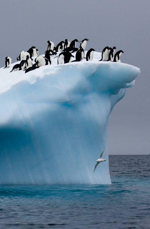 Snow Petrel In Flying In Front Of Adélie Penguins On Iceberg