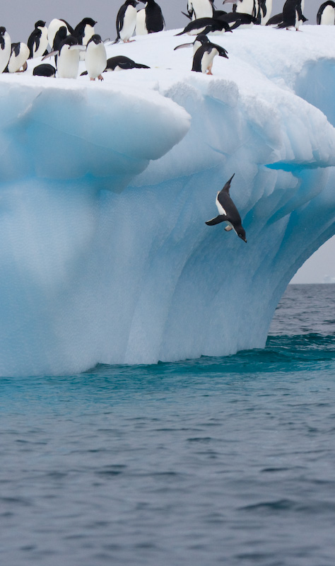 Adélie Penguins Diving Off Iceberg