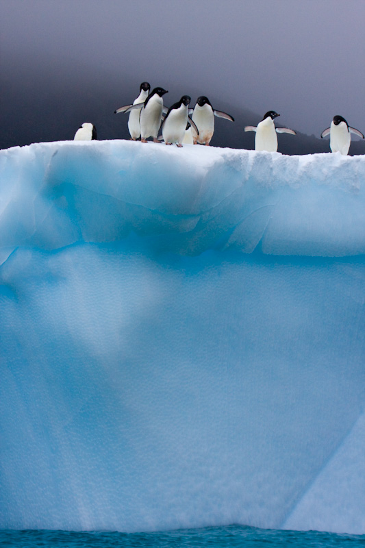 Adélie Penguins On Iceberg