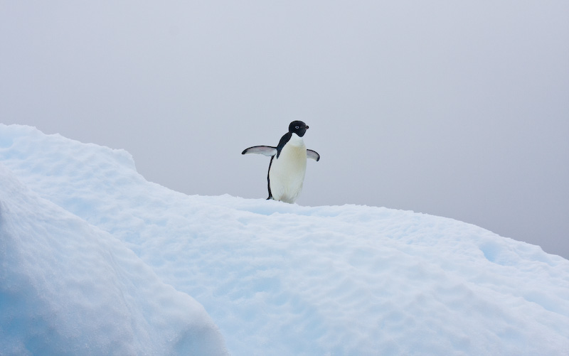 Adélie Penguin On Iceberg